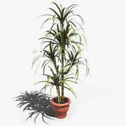 Dragon Tree (Dracaena Marginata) 3d model