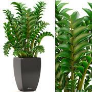 Rośliny Zamioculcas 3d model