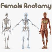 Vrouwelijke anatomie collectie 3d model