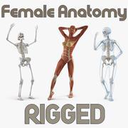 Kvinnlig anatomi riggade 3D-modeller 3d model