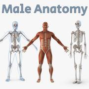 男性の解剖学3Dモデルコレクション 3d model