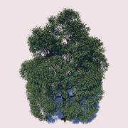 Maple Tree 3d model