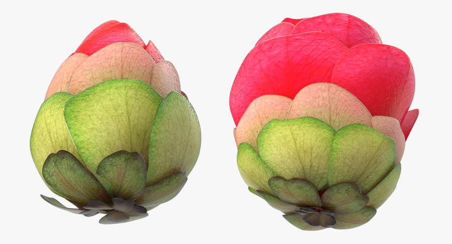 Bud Blossom Evolution royalty-free 3d model - Preview no. 6