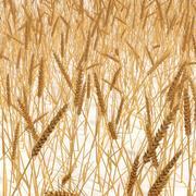 Пшеничное поле 3d model