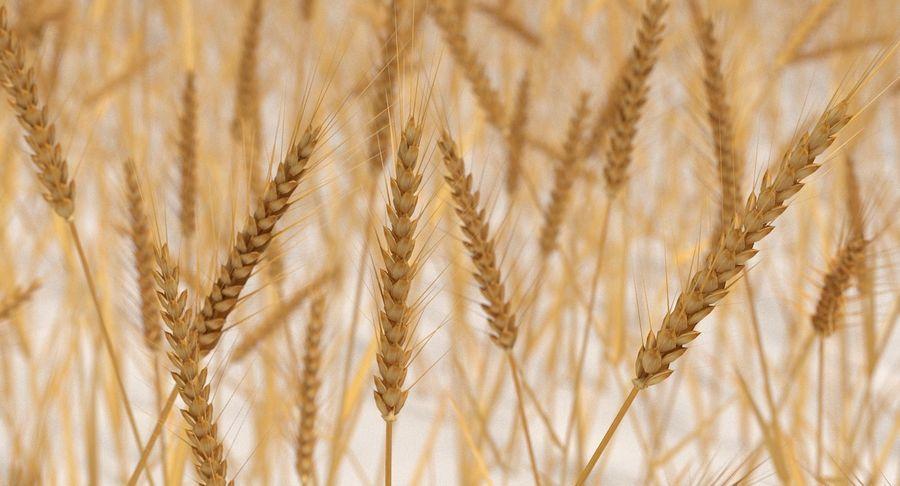 Buğday tarlası royalty-free 3d model - Preview no. 13