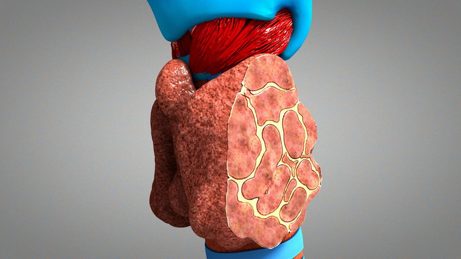 Thyroid Gland Cross Section Anaomy 3d Model 45 C4d Obj Free3d