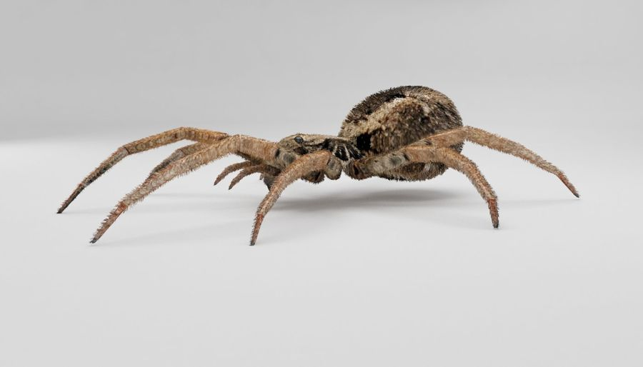 Wolf Spider royalty-free 3d model - Preview no. 10