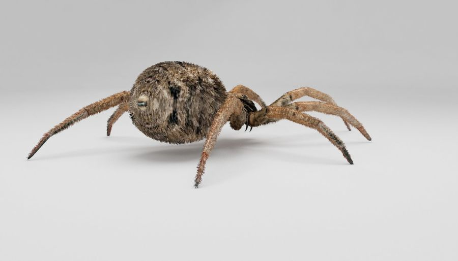 Wolf Spider royalty-free 3d model - Preview no. 7