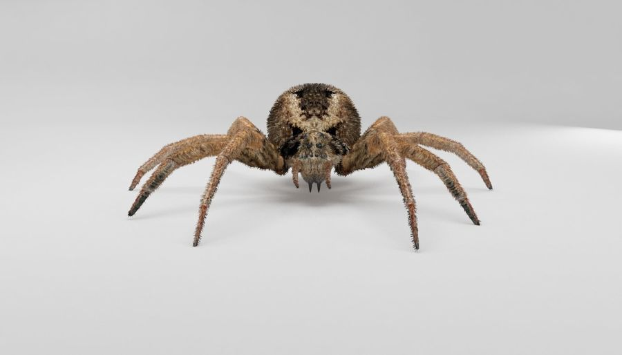 Wolf Spider royalty-free 3d model - Preview no. 9