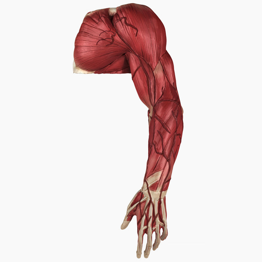 Complete Male Arm Anatomy royalty-free 3d model - Preview no. 1