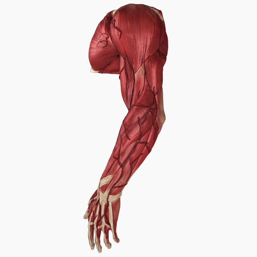 Complete Male Arm Anatomy royalty-free 3d model - Preview no. 4