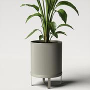 strelitzia plant angled 3d model