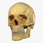 Modelo 3D realista de dentes e mandíbula do crânio e modelo 3D Sculpt 3d model
