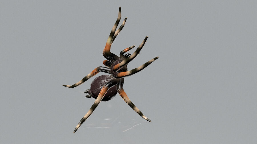Spider-tarantula (Theraphosidae) royalty-free 3d model - Preview no. 4