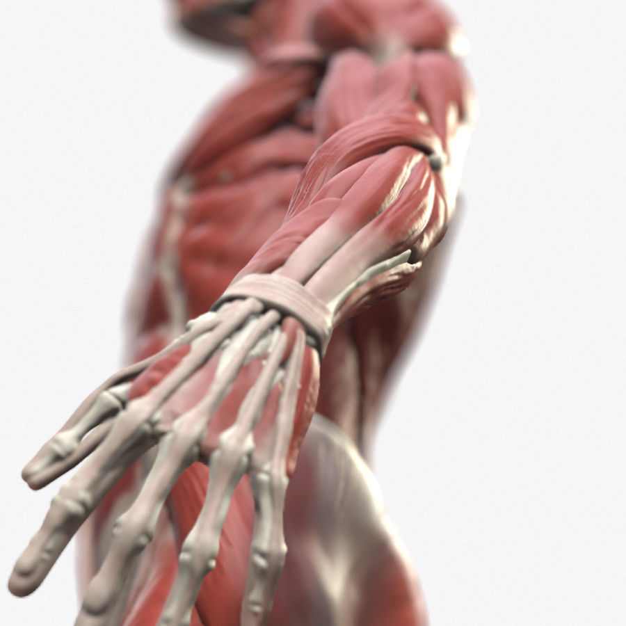 Ecorche:男性の解剖学的参照 royalty-free 3d model - Preview no. 1