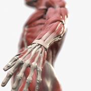 Ecorche: riferimento anatomico maschile 3d model