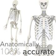 解剖学上准确的骨架 3d model