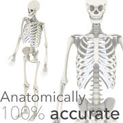 Anatomically Accurate Skeleton 3d model