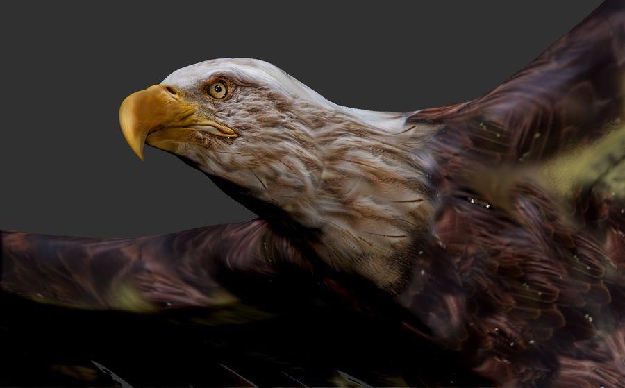 Adler royalty-free 3d model - Preview no. 2