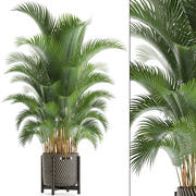 Howea palm 3d model