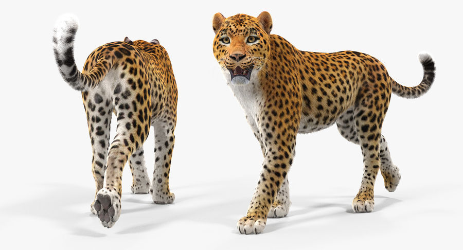 Leopard Walking Pose with Fur royalty-free 3d model - Preview no. 5