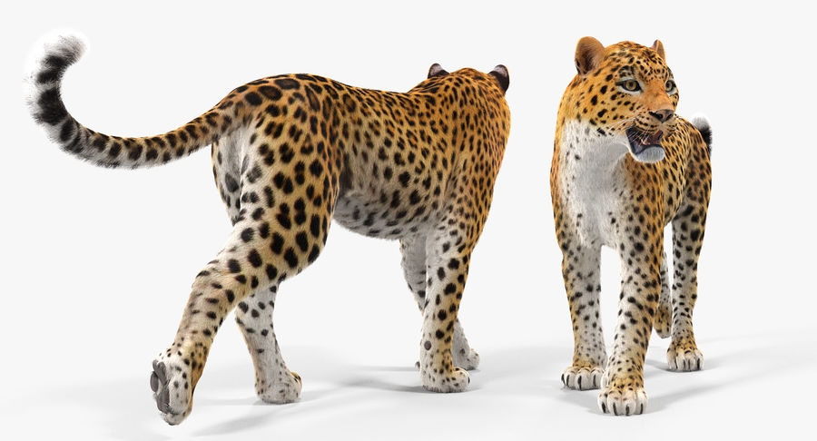 Leopard Walking Pose with Fur royalty-free 3d model - Preview no. 7