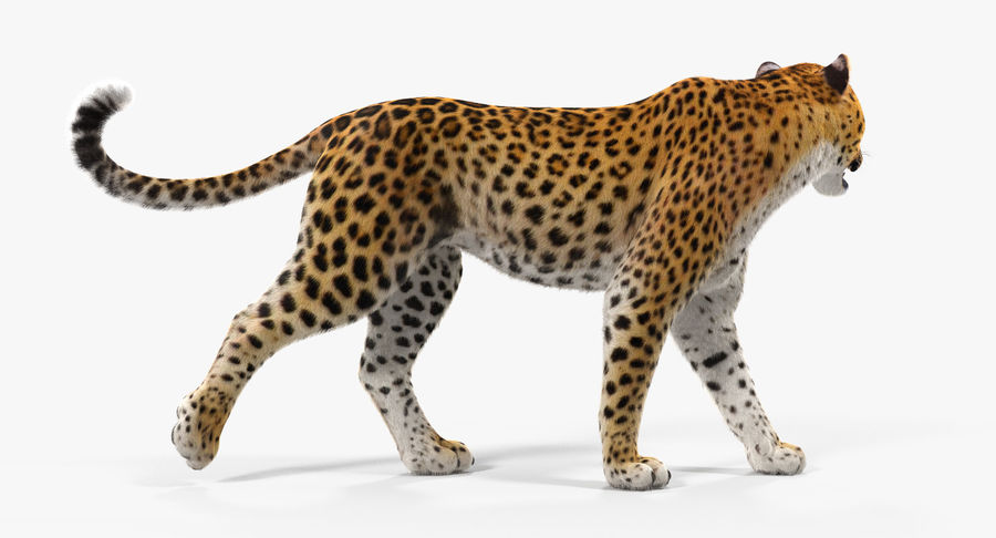 Leopard Walking Pose with Fur royalty-free 3d model - Preview no. 8