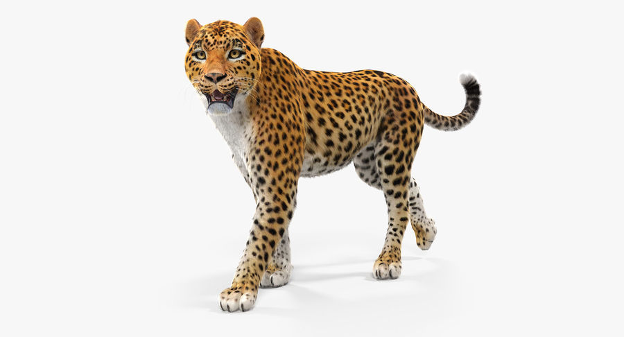 Leopard Walking Pose with Fur royalty-free 3d model - Preview no. 2