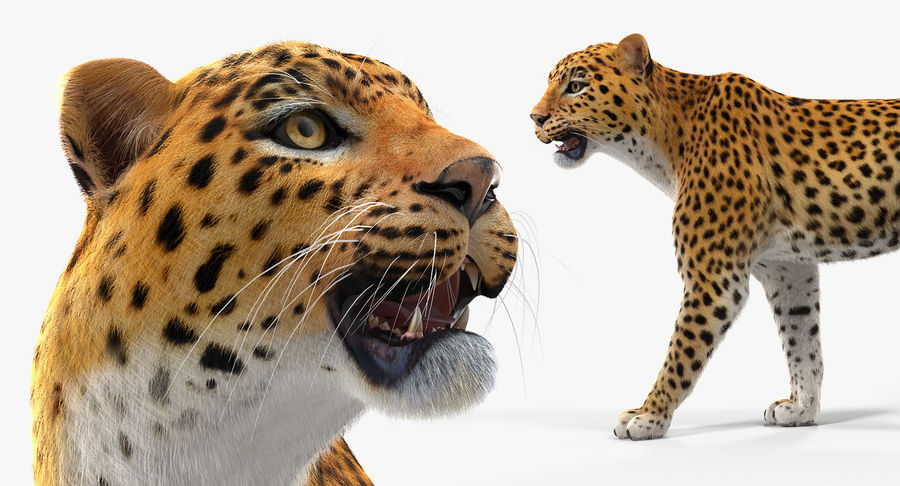 Leopard Walking Pose with Fur royalty-free 3d model - Preview no. 6