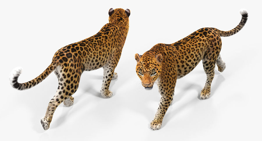 Leopard Walking Pose with Fur royalty-free 3d model - Preview no. 4