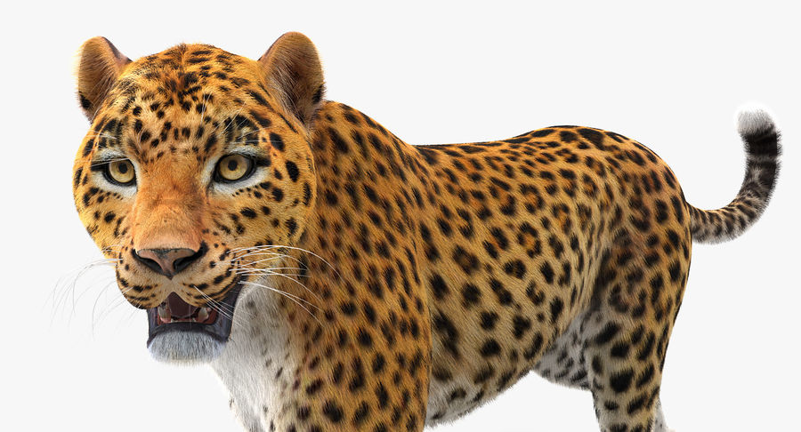 Leopard Walking Pose with Fur royalty-free 3d model - Preview no. 3