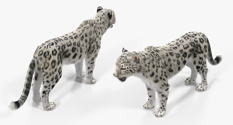 Snow Leopard with Fur Rigged royalty-free 3d model - Preview no. 6