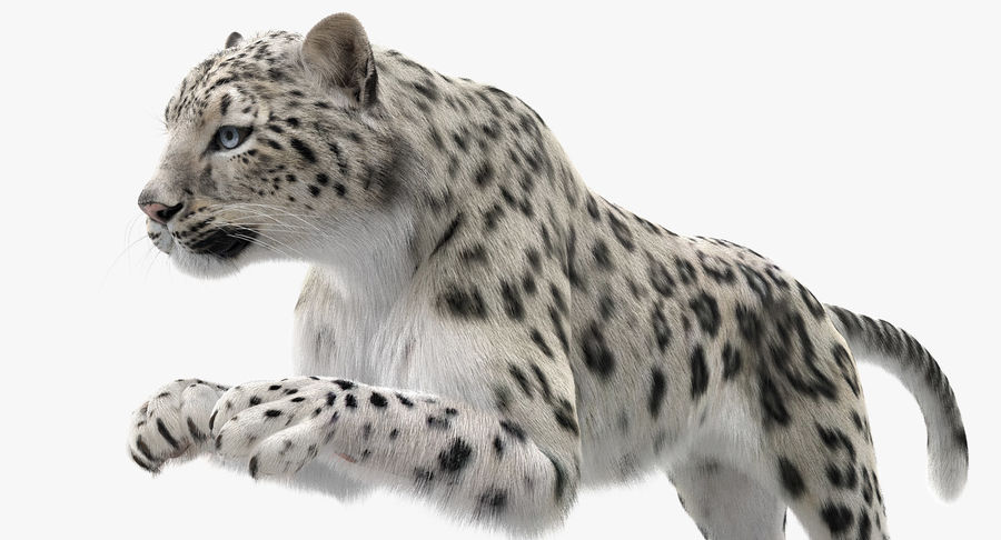 Snow Leopard with Fur Rigged royalty-free 3d model - Preview no. 14