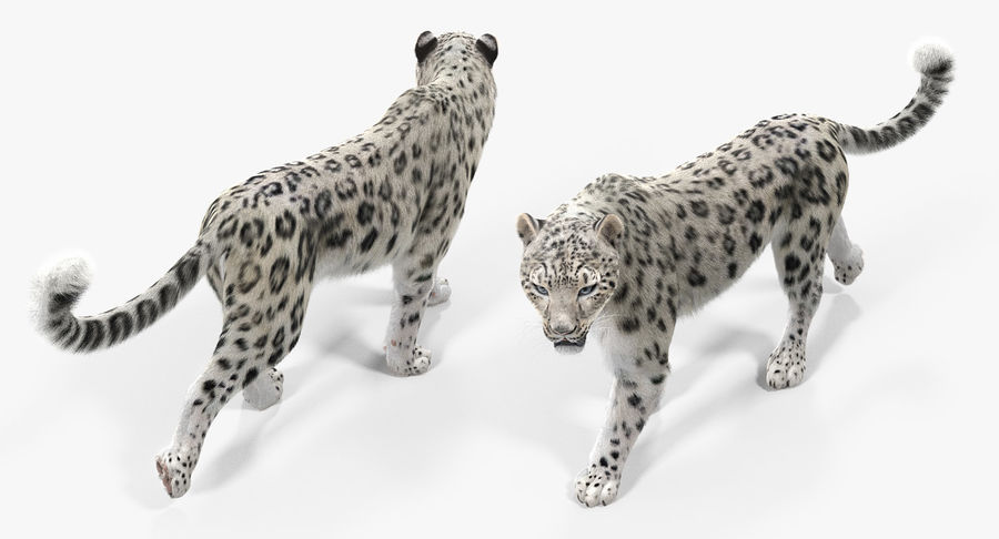 Snow Leopard with Fur Rigged royalty-free 3d model - Preview no. 8