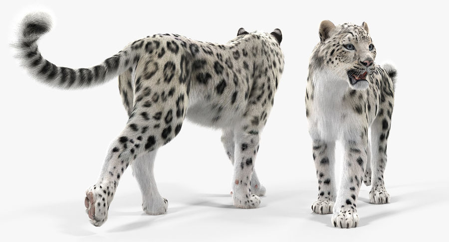 Snow Leopard with Fur Rigged royalty-free 3d model - Preview no. 9