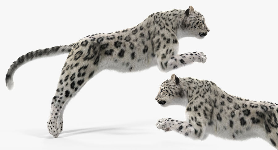 Snow Leopard with Fur Rigged royalty-free 3d model - Preview no. 11