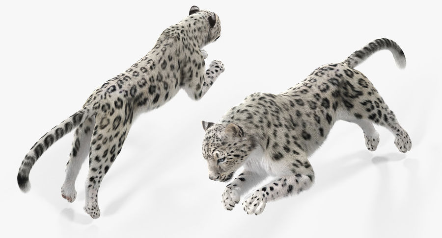 Snow Leopard with Fur Rigged royalty-free 3d model - Preview no. 10