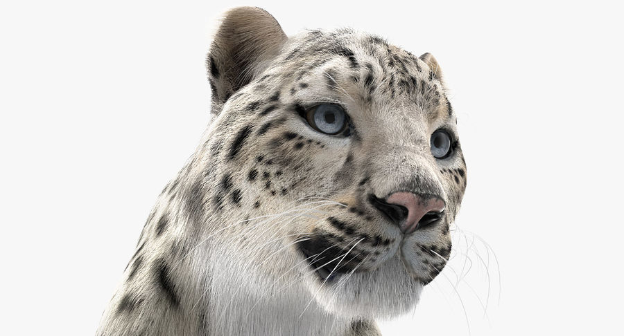 Snow Leopard with Fur Rigged royalty-free 3d model - Preview no. 17