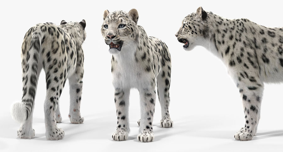 Snow Leopard with Fur Rigged royalty-free 3d model - Preview no. 4
