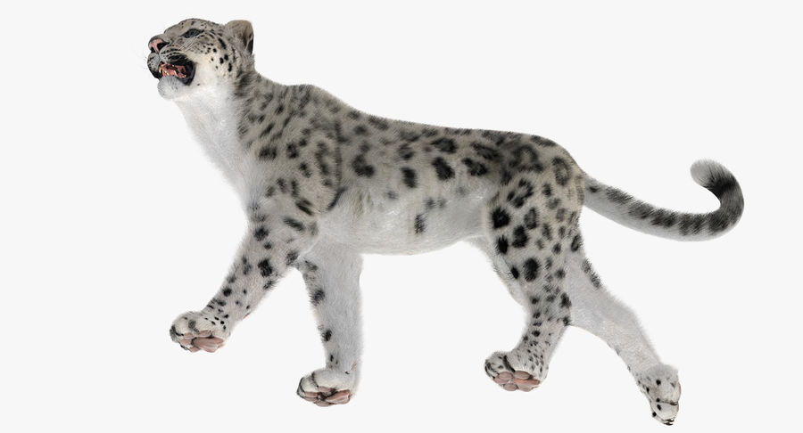 Snow Leopard with Fur Rigged royalty-free 3d model - Preview no. 21