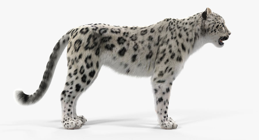 Snow Leopard with Fur Rigged royalty-free 3d model - Preview no. 5