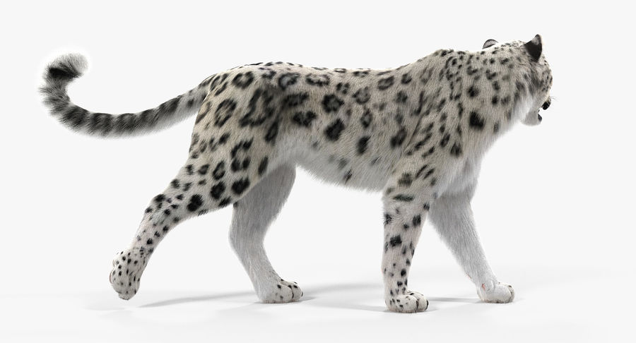 Snow Leopard with Fur Rigged royalty-free 3d model - Preview no. 7