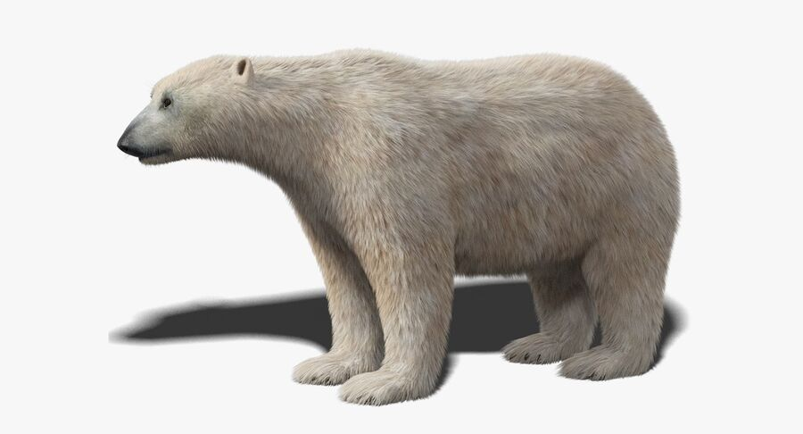 Polar Bear (Fur) royalty-free 3d model - Preview no. 2
