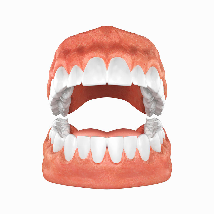 Human Teeth Anatomy royalty-free 3d model - Preview no. 3