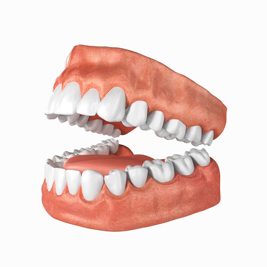 Human Teeth Anatomy royalty-free 3d model - Preview no. 4
