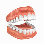 Human Teeth Anatomy 3d model