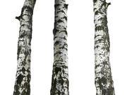 irの木の樹皮16KウルトラHD 3d model