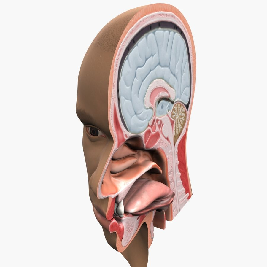 Hoofd anatomie royalty-free 3d model - Preview no. 6