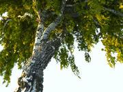 Animação de árvore de bétula 3d model