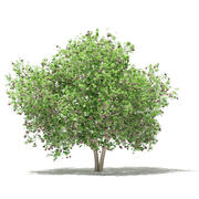 普通无花果树3D模型3.4m 3d model